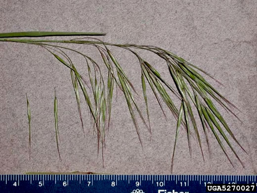 spikelet: Bromus tectorum, Downy Brome, Downy Chess, Downy Cheat, Cheatgrass