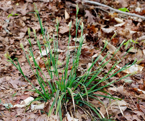 coriaceous: Carex striatula, Carex striatula, Carex striatula