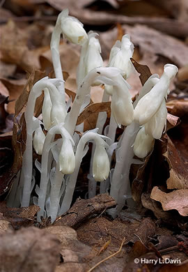 Monotropa uniflora, Indian Pipes, Ghost Flower