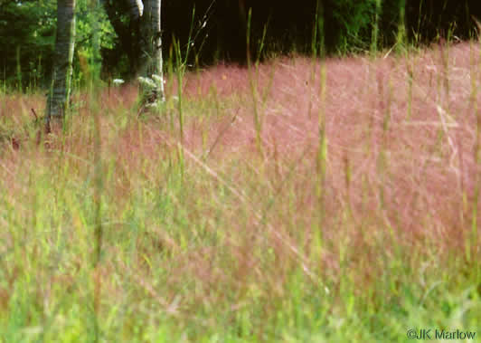 spikelet: Eragrostis spectabilis, Purple Lovegrass, Tumblegrass