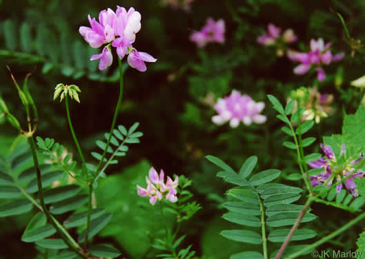 image of Securigera varia, Crown-vetch