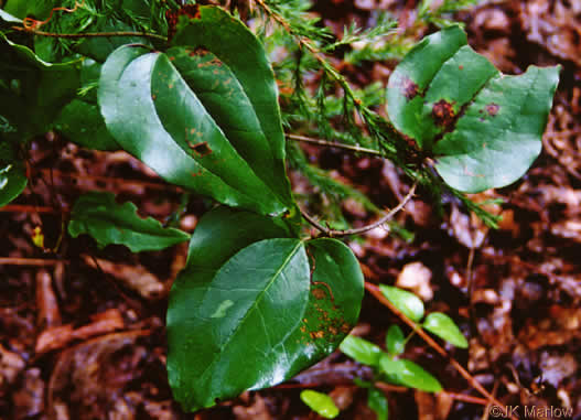 coriaceous: Smilax rotundifolia, Smilax rotundifolia, Smilax rotundifolia