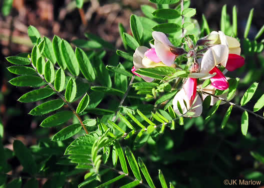image of Tephrosia virginiana, Virginia Goat's Rue, Devil's Shoestrings