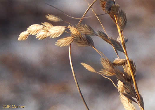 spikelet: Uniola paniculata, Sea Oats
