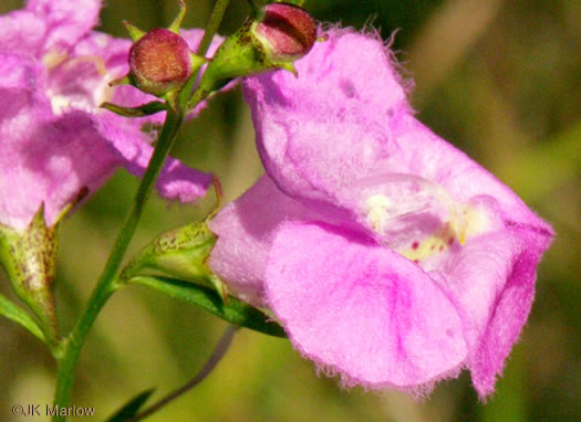 sepals or bracts of Agalinis purpurea, Purple Gerardia, Purple False Foxglove