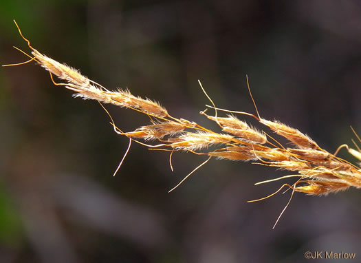 Sorghastrum nutans, Yellow Indiangrass, Prairie Indiangrass