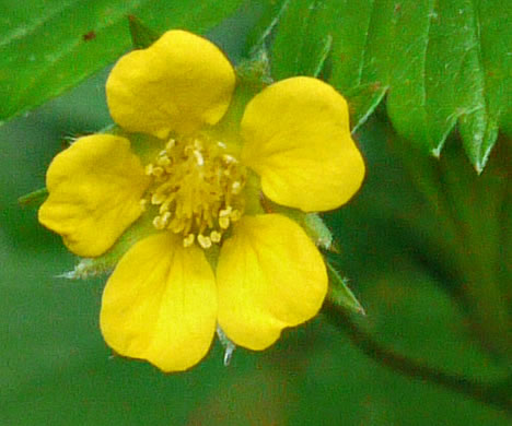 Potentilla simplex, Old Field Cinquefoil, Old-field Five-fingers, Common Cinquefoil