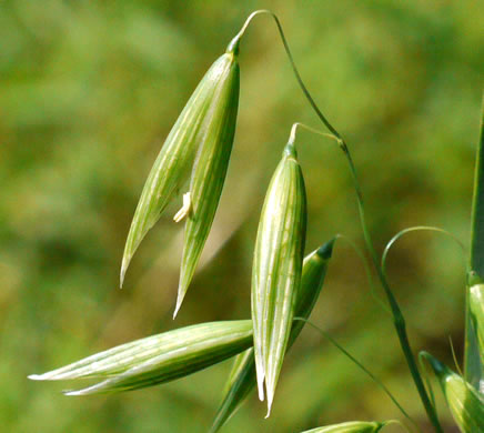spikelet: Avena sativa, Domestic Oats