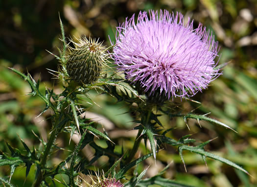 Cirsium discolor, Field Thistle