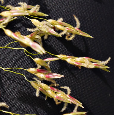 stigma: Sorghum halepense, Johnsongrass
