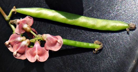 image of Apios americana, Common Groundnut