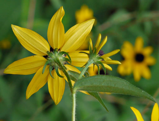Rudbeckia triloba var. triloba, Common Three-lobed Coneflower, Brown-eyed Susan, Thin-Leaved Coneflower
