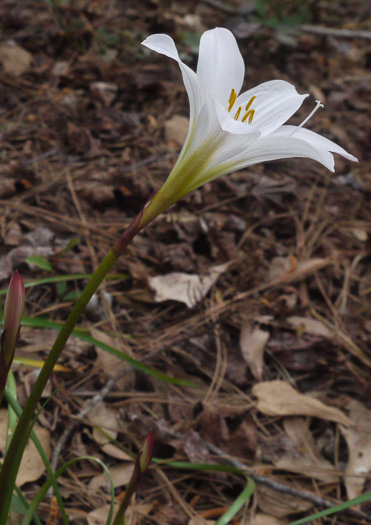 stigma: Zephyranthes atamasco, Common Atamasco Lily, Rain-lily, Easter Lily, Naked Lily