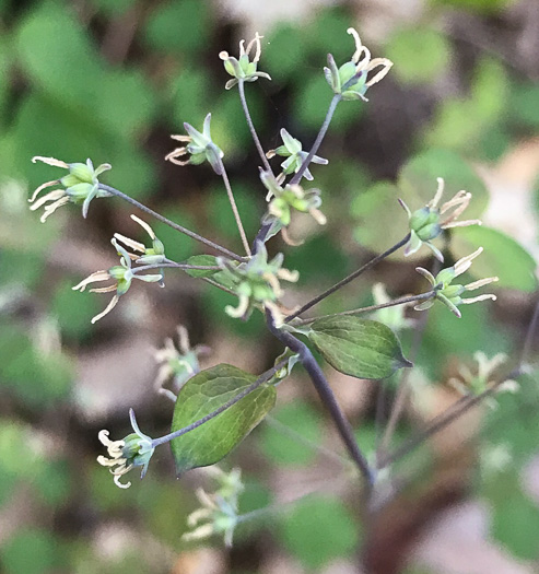 stigma: Thalictrum dioicum, Early Meadow-rue