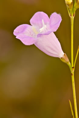 flower of Agalinis purpurea, Purple Gerardia, Purple False Foxglove