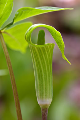 image of Arisaema triphyllum, Common Jack in the Pulpit, Indian Turnip