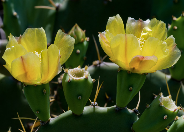 stigma: Opuntia stricta var. stricta, Coastal Prickly Pear, Shell Midden Prickly-pear, Erect Prickly-pear