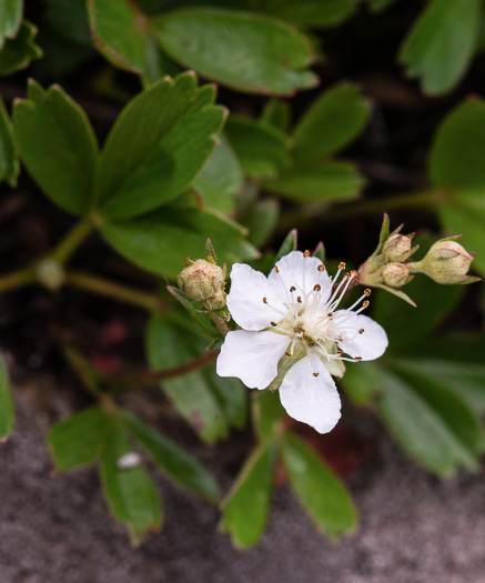 Sibbaldia retusa, Wineleaf Cinqefoil, Mountain Cinqefoil, Three-toothed Cinqefoil, Mountain White Potentilla