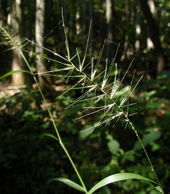 spikelet: Elymus hystrix var. hystrix, Common Bottlebrush Grass