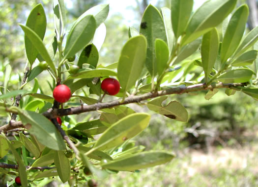 revolute: Ilex myrtifolia, Myrtle Holly, Myrtle-leaved Holly