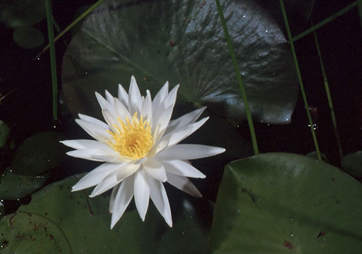 Nymphaea odorata ssp. odorata, Fragrant White Water-lily, American Water-lily, Sweet Water-lily
