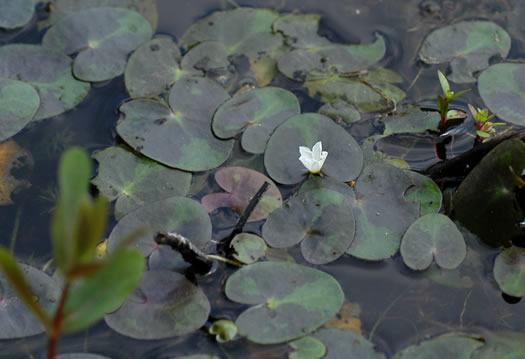 Nymphoides cordata, Little Floating Heart
