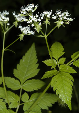 Osmorhiza longistylis, Aniseroot, Smooth Sweet Cicely, Longstyle Sweet-cicely