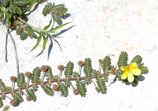 Tribulus cistoides, Jamaica Feverplant, Burr-nut