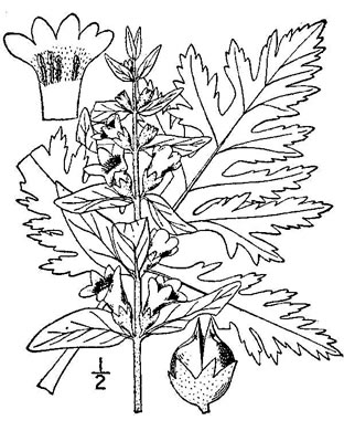 drawing of Dasistoma macrophylla, Mullein Foxglove