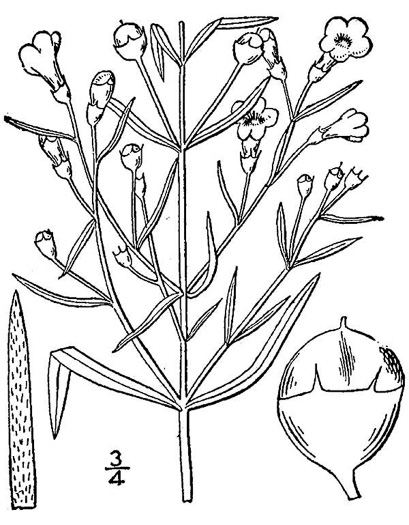 drawing of Agalinis tenuifolia, Slender Gerardia, Thin-leaved Agalinis, Slenderleaf Agalinis, Slender False Foxglove