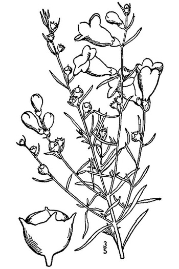 drawing of Agalinis fasciculata, Gerardia, Beach False Foxglove