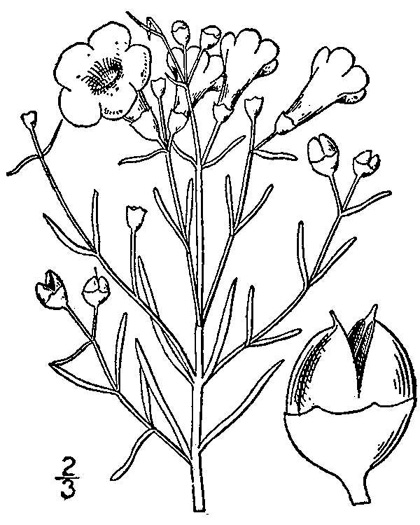 drawing of Agalinis maritima +, Seaside Gerardia, Saltmarsh False Foxglove