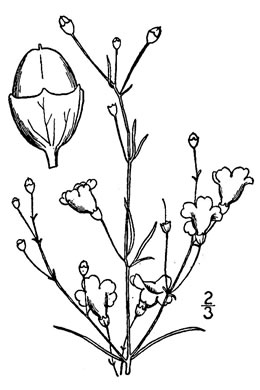 drawing of Agalinis obtusifolia, Ten-lobe False Foxglove, Gerardia, Bluntleaf False Foxglove