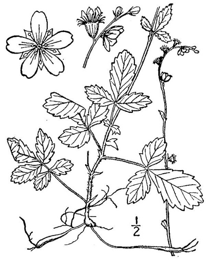 image of Agrimonia microcarpa, Low Agrimony, Small-fruited Agrimony