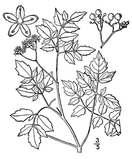 Nekemias arborea, Peppervine