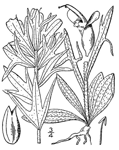 drawing of Castilleja coccinea, Eastern Indian Paintbrush, Scarlet Indian Paintbrush