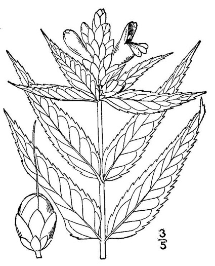 drawing of Chelone glabra, White Turtlehead