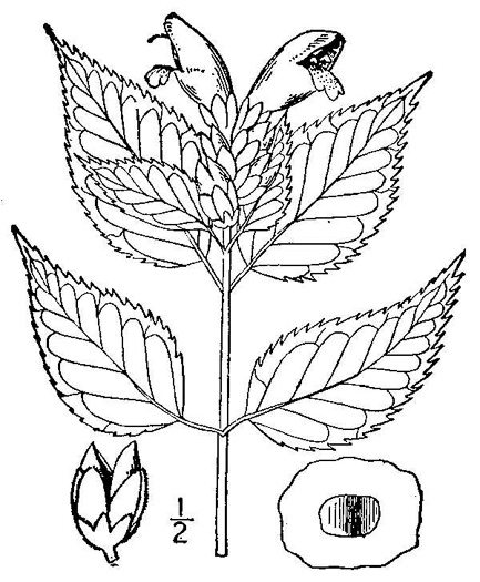drawing of Chelone lyonii, Mountain Turtlehead, Pink Turtlehead, Appalachian Turtlehead