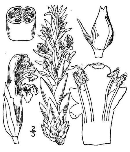 drawing of Conopholis americana, Squawroot, Bearcorn