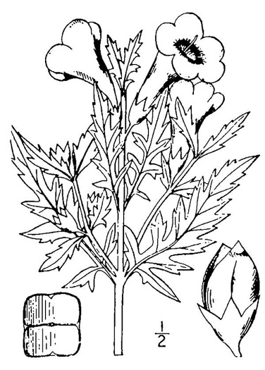 drawing of Aureolaria virginica, Downy False Foxglove, Downy Oak-leach, Virginia Oak-leach, Downy Yellow False Foxglove