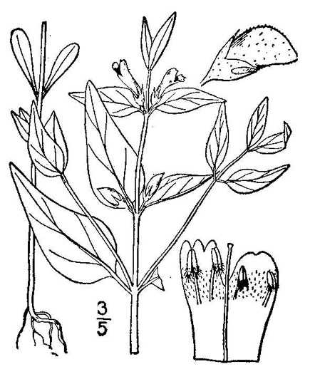drawing of Melampyrum lineare, Cow-wheat