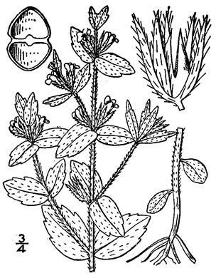 drawing of Sophronanthe pilosa, Shaggy Hedge-hyssop, Pilose Hedge-hyssop