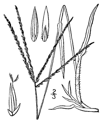 raceme: Digitaria sanguinalis, Digitaria sanguinalis, Digitaria sanguinalis