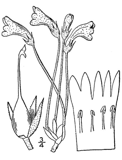 drawing of Aphyllon uniflorum, One-flowered Cancer-root, One-flowered Broomrape