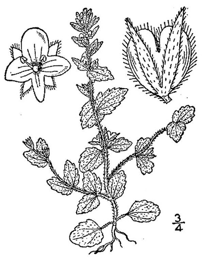 drawing of Veronica arvensis, Corn Speedwell, Wall Speedwell