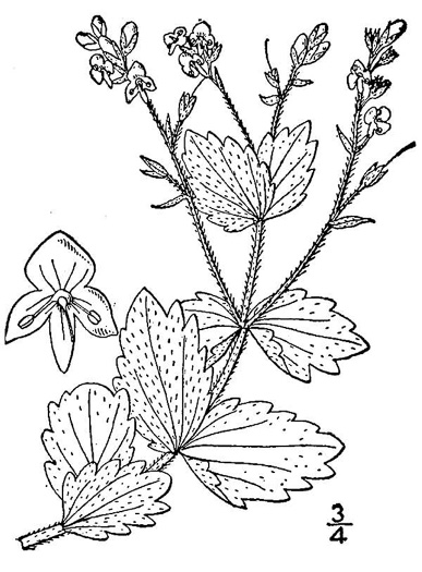 drawing of Veronica chamaedrys, Germander Speedwell