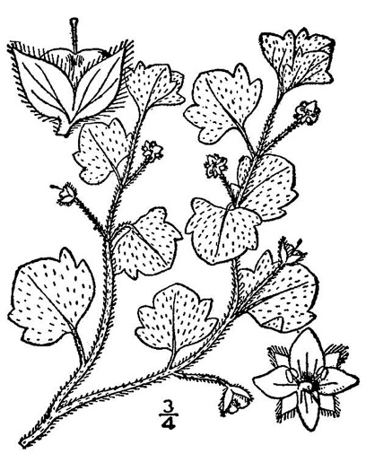 drawing of Veronica hederifolia, Ivyleaf Speedwell