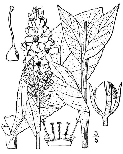 drawing of Verbascum thapsus ssp. thapsus, Woolly Mullein, Common Mullein, Flannel-plant, Velvet-plant