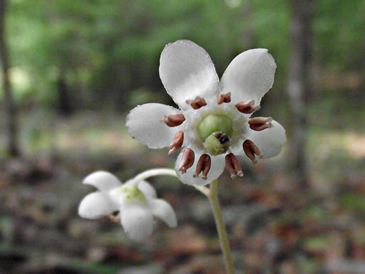 stigma: Chimaphila maculata, Pipsissewa, Striped Wintergreen, Spotted Wintergreen