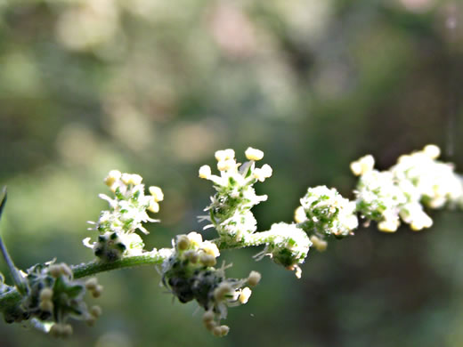 stigma: Chenopodium album, Lambsquarters, Pigweed